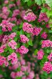 Aubépine de floraison Images libres de droits