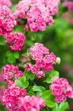 Aubépine de floraison avec la coccinelle Photographie stock libre de droits