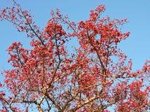 Aubépine mûre rouge en automne, Lithuanie Photographie stock