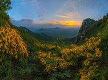 Aube d'été avec les fleurs jaunes Jaune de rhododendron dans les montagnes photos stock