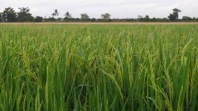 Aube de riz photographie stock