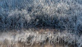 aube La glace et le gel ont couvert le feuillage de marécage Buissons frais de Bluegrass Photo libre de droits