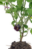 Aubergine 02 Royalty Free Stock Images