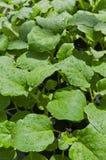 aubergine Royaltyfria Bilder
