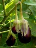 aubergine lizenzfreie stockfotos