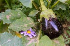 aubergine Photo stock