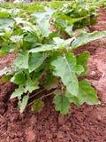 aubergine Images libres de droits