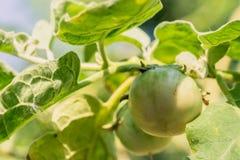 Aubergine auf Baum Lizenzfreie Stockfotografie