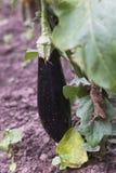 Aubergine dans le jardin Photographie stock libre de droits