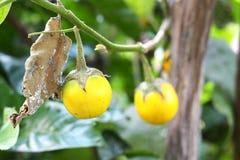 Aubergine dans les terres cultivables Photographie stock