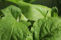 Aubergine de jeunes plantes L'élevage pousse à la maison Photographie stock libre de droits