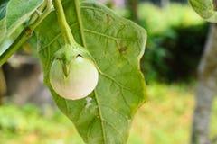 Aubergine des selbstgezogenen Gemüses Lizenzfreie Stockfotos