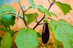 Aubergine eller violett brinjal (den horisontalSolanummelongenaen) - Arkivbild