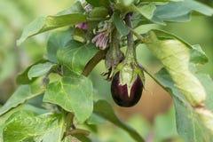 Aubergine fraîche sur l'arbre Image stock