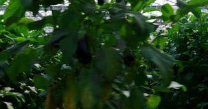 Aubergine het hangen op de installaties in serre stock videobeelden