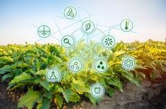 Aubergine i fältet Vetenskapligt arbete och utveckling av nya metoder och val av variationer Höga teknologier och arkivbild