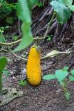 Aubergine jaune Images libres de droits