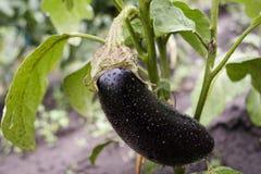 aubergine oberżyna świeży jeden Zdjęcia Stock