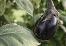 Aubergine på en buske royaltyfri bild