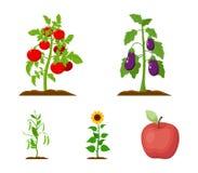 Aubergine, Tomate, Sonnenblume und Erbsen Betriebsvector gesetzte Sammlungsikonen in der Karikaturart Illustrationsnetz des Symbo Stockbilder