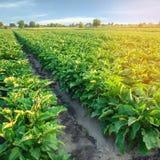 Плантации Aubergine растут в поле строки овоща обрабатывать землю, земледелие Ландшафт с аграрным краем урожаи стоковые изображения