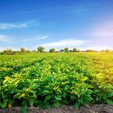 Плантации Aubergine растут в поле строки овоща обрабатывать землю, земледелие Ландшафт с аграрным краем урожаи стоковые фотографии rf