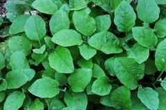 Auberginebladeren, kleine groene bladeren, beeldachtergrond stock afbeeldingen