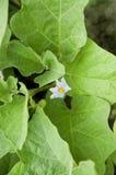 Aubergineblomma i grönska royaltyfria bilder