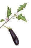 Auberginegemüse mit Blättern und Blume Stockbild