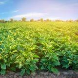 Auberginekolonier v?xer i f?ltet gr?nsakrader Lantbruk jordbruk Landskap med jordbruks- land kantjusteringar arkivfoto