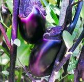 Auberginen auf einem Busch Stockbild