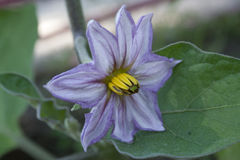 Auberginen-Blüte Stockfotografie