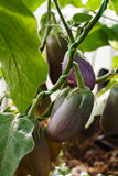 Auberginen, die auf einer Niederlassung in einem Gewächshaus wachsen lizenzfreies stockfoto