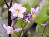 Auberginenblume lizenzfreie stockfotos