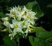 Auberginenblume Lizenzfreies Stockbild