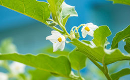 Auberginenblume Lizenzfreies Stockfoto