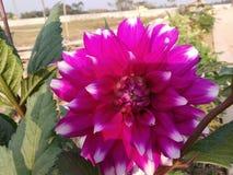 Auberginensonnenblumen lizenzfreies stockfoto