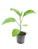 Aubergineplantacloseup Royaltyfria Foton