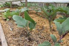 Aubergineplantaväxter i växthus Royaltyfri Bild