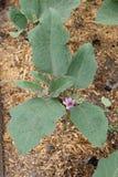 Aubergineplantor med blomman i ett växthus Royaltyfria Bilder