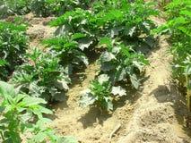Aubergines de jardin dans la rangée Image libre de droits