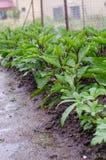 Aubergines in de regen Stock Afbeeldingen