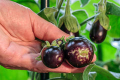Aubergines. Picture of some healthy Aubergines in the hand Stock Photo