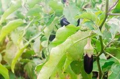 Aubergineskörd på fältet Nya organiska grönsaker Jordbruk lantgård sund mataubergine arkivbild