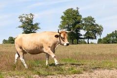 Aubrac走横跨一个牧场地的肉用牛在阳光,侧视图下 库存照片