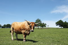Aubrac Beef Cow Portrait Facing Camera Royalty Free Stock Photography