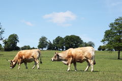 Aubrac Beef Cows Grazing In Pasture Stock Photo