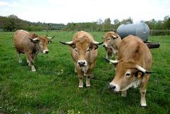 Aubrac-Kühe, in ihrer Wiese in Auvergne lizenzfreie stockfotos