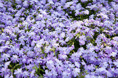 Aubretia Royalty Free Stock Photo