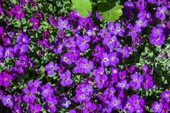 Aubretia or Aubrieta low spreading hardy evergreen perennial flowering plants with multiple dense small violet flowers with yellow. Center. Flower carpet in the stock photography